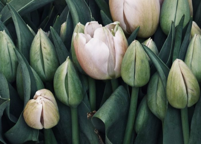 pastel colored tulips Copy Space Textured  Tulips Adorable Background Texture Backgrounds Beauty In Nature Close-up Concept Decorative Flower Flowering Plant Freshness Full Frame Green Color Leaf Nature Outdoors Pastel Pastel Colors Plant Part Springtime Still Life Tulip Wellbeing Visual Creativity