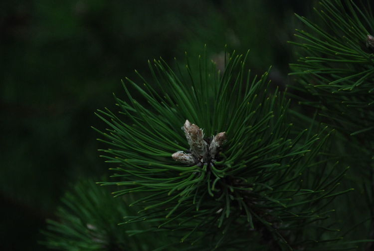 Ёлочка Flower Leaf Pine Tree Pinaceae Living Organism Close-up Green Color Plant Flowering Plant Pine Cone Spruce Tree Evergreen Tree Coniferous Tree Plant Life Pine Wood Crocus Fir Tree Arctic Glade Forest Fire Birch Tree Freshwater Needle Botany Needle - Plant Part Lilac Pine Woodland Whistler Diving Platform Polar Climate EyeEmNewHere