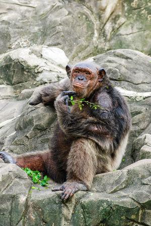 Animal Themes Animal Wildlife Animals In The Wild Bangkok Thailand. Chimpanzee Dusit Zoo Mammal Monkey No People One Animal Outdoors Zoo