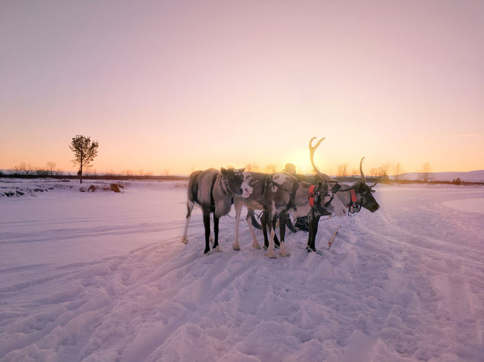 Reindeer on snow covered land against sky during sunset