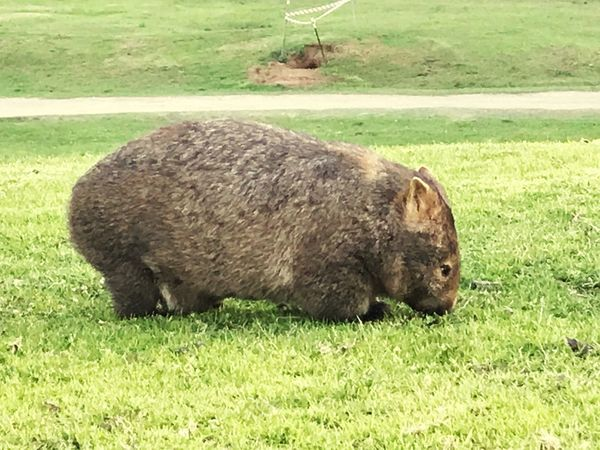 Mother Wombat Wombat  Grass One Animal Field Animal Themes Mammal No People Nature First Eyeem Photo