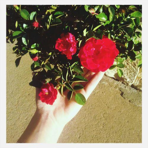Roses First Bloom Spring Flowers Spring Mornings