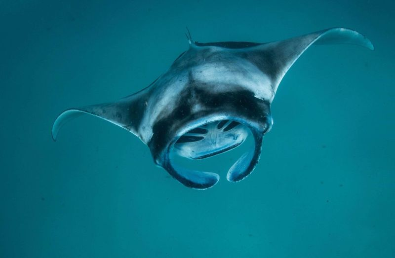Manta ray feeding on plankton Plankton Coral Ray Ocean Manta Tropical Life Wild Wildlife Underwater Animal Animal Themes Sea Animal Wildlife Swimming Animals In The Wild Water Sea Life Marine UnderSea Blue Fish Nature Vertebrate One Animal