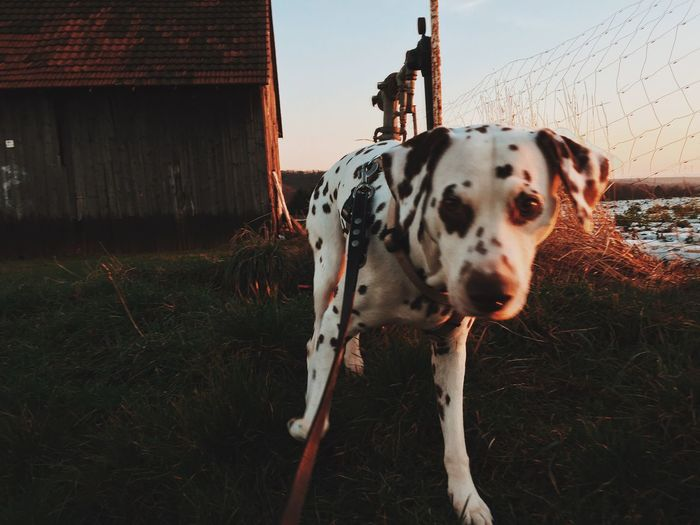 Portrait Of Dalmatian Dog On Field