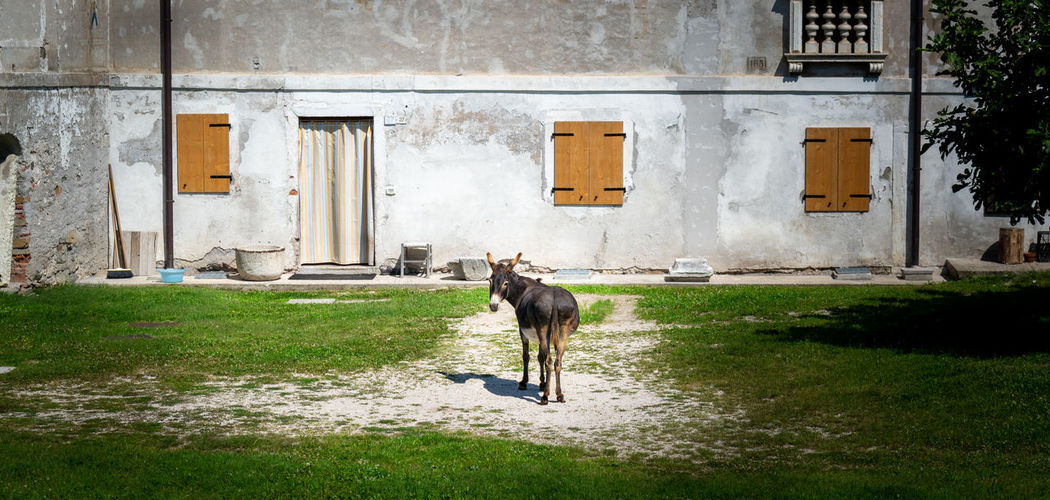 Facade of rural house. a donkey standing in the middle of the patio looks at the camera