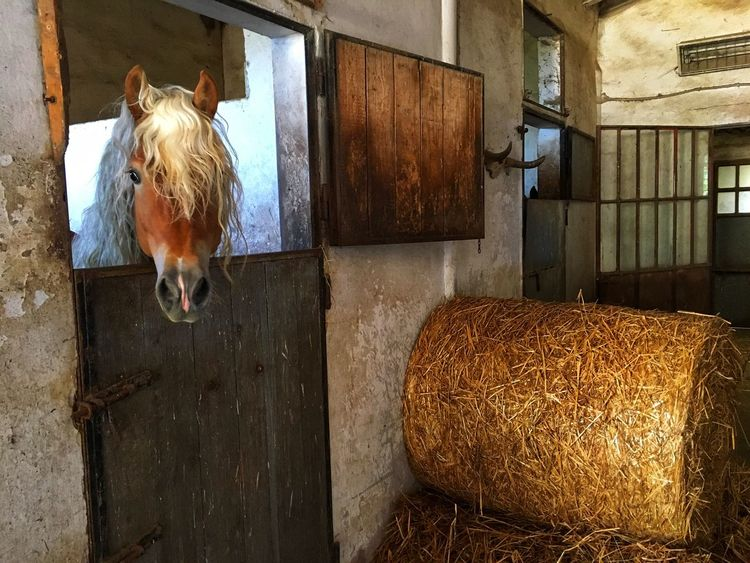 Blonde attitude Hay Domestic Animals Bale  Mammal Farm Animal Themes Agriculture Livestock Animal Pen One Animal Barn Haystack Straw Cow Rural Scene Day Built Structure No People Indoors  Hay Bale