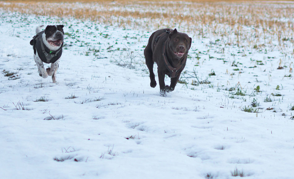 Best friends 💞Animal Themes Domestic Animals Outdoors Day Snow Schnee Nature Winter Natur No People Cold Temperature Beauty In Nature Dog Photography Hund Shar Pei Haustier Pets Hundefotografie Labrador Retriever