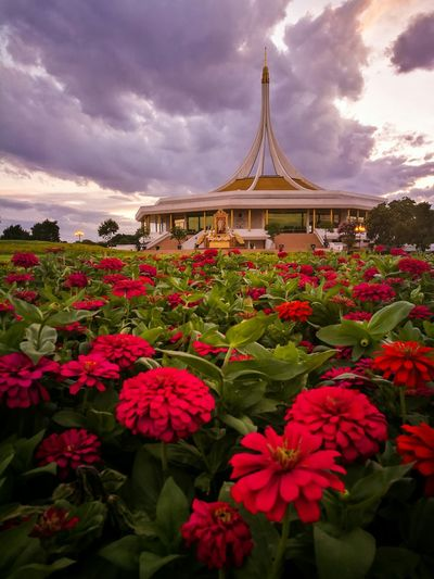 Red zinnia blooming at suan luang rama ix against sky