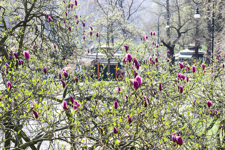 Purple magnolia blooming in spring in Valentino Park near the river Po, Turin, Piedmont Magnolia Magnolia_Blossom Magnolia Tree Turin Turin Italy Park Valentino River PO Park Garden Spring Springtime Beauty In Nature Flowering Plant Flower Botany Park - Man Made Space Blossom Pink Color Purple Vulnerability  Fragility Freshness Alps Italy Alps