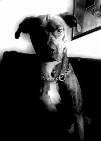 Boss Gangster Brendle PuppyLove Dog Mixed Mutts Pets Close-up First Eyeem Photo