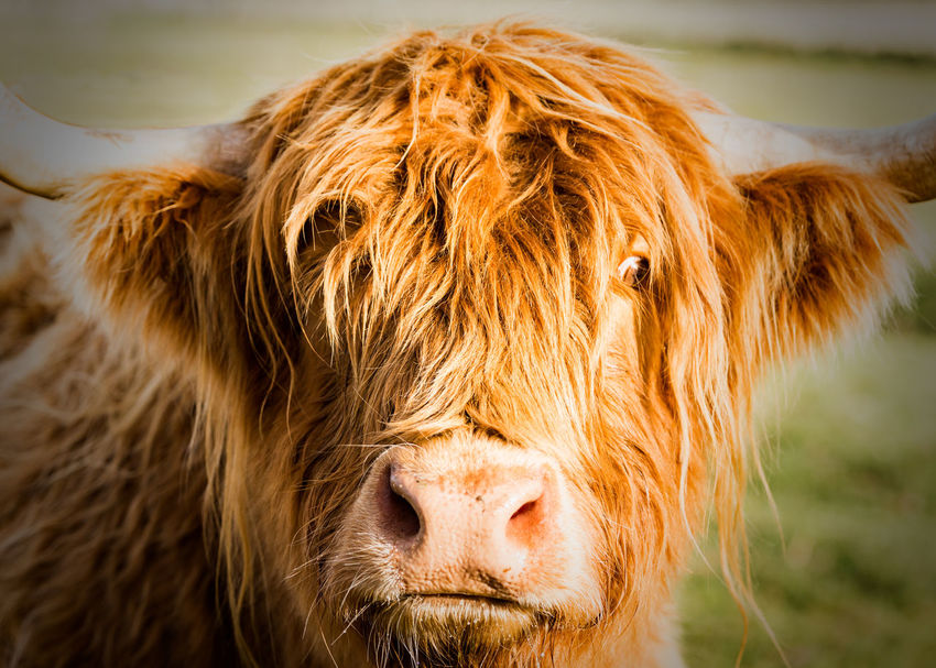 Highland Cows up in the Scottish Highlands, Scotland Highland Cattle Highland Cows Animal Animal Hair Animal Themes Brown Cattle Cow Cows Cows In A Field Domestic Domestic Animals Focus On Foreground Herbivorous Highland Coo Highland Cow Livestock Mammal No People Pets Vertebrate