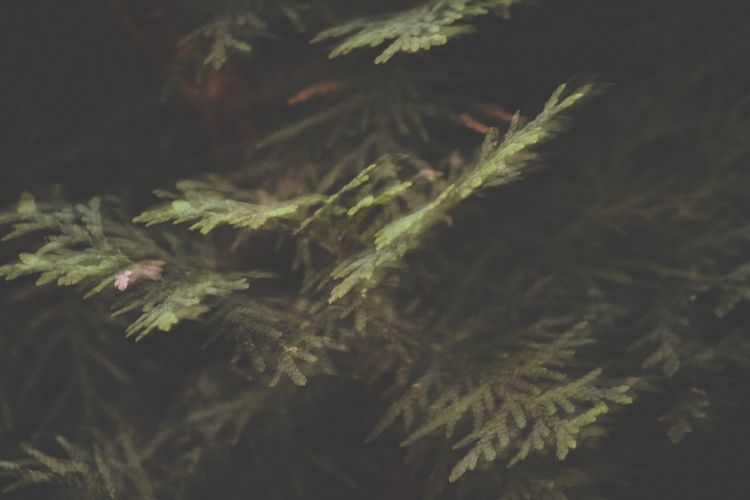 Close-up of pine tree in park