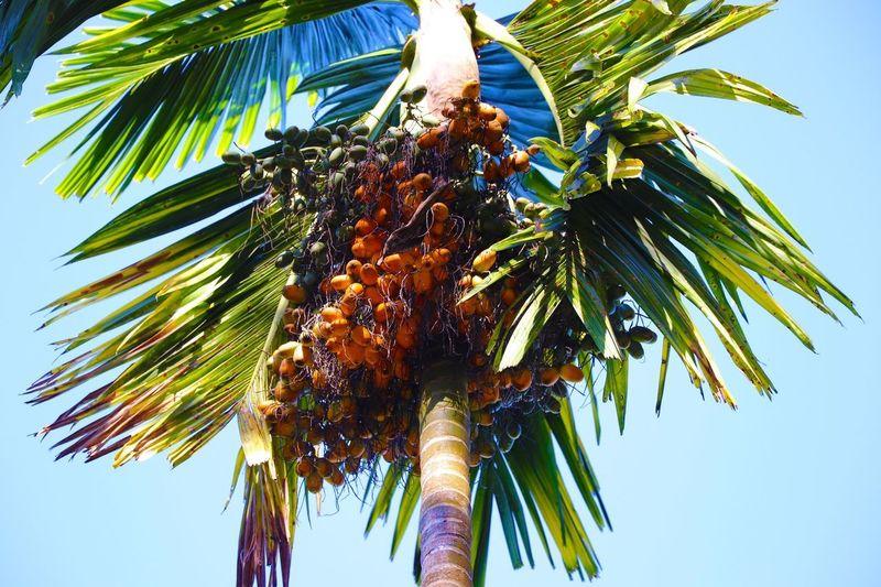 檳榔 Palm Tree Low Angle View Plant Tropical Climate Tree Sky Growth Outdoors Leaf Nature Clear Sky Beauty In Nature Coconut Palm Tree