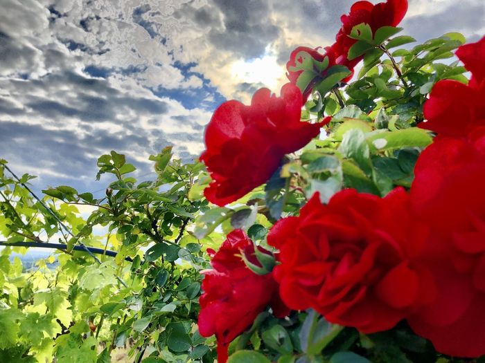 Close-up of red flowering plant against cloudy sky