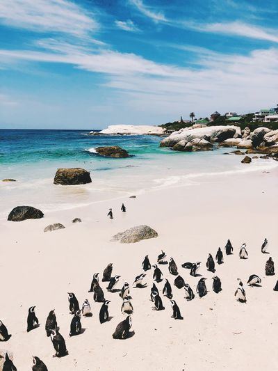 Penguin reunion at Boulders beach - South Africa Cape Point Beach Penguin Boulders Beach South Africa Water Sea Large Group Of Animals No People