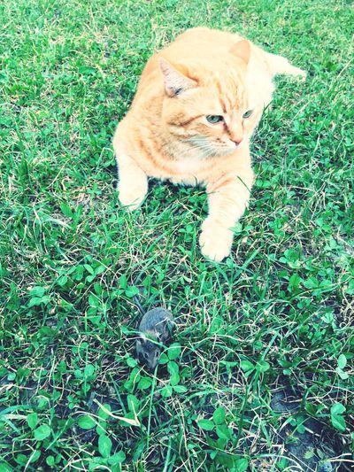 Cat Prey Animal Mouse Prey Mouse