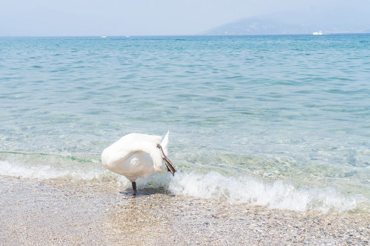 Animal Themes Animals In The Wild Beach Bird Day Horizon Over Water Nature One Animal Outdoors Sea Swan Swan Lake Unnatural Pose Water