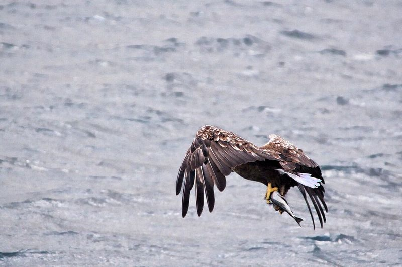 Eagle Eagles Fishing Fish Fishhunter Animals Photography In Motion