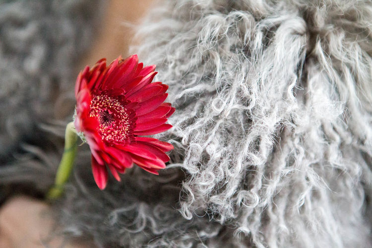 'it just got cold outside | But it's much colder In here | With you' | https://youtu.be/Pw_xZErJS98 Beauty In Nature Blooming Close-up Cold Days Flower Flower Head Fragility Gerbera Gerbera Daisy Grey Nature Outdoors Petal Red