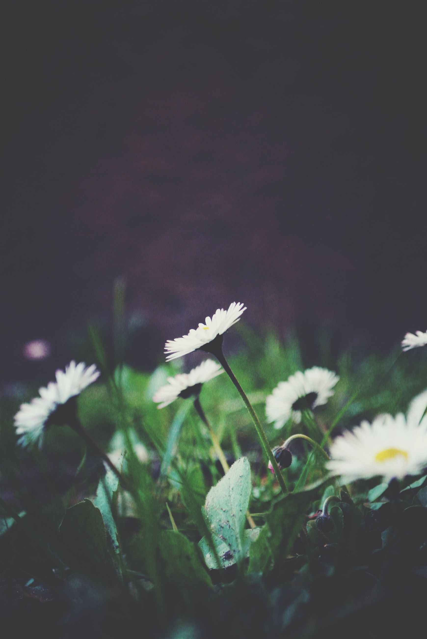 flower, white color, fragility, freshness, petal, growth, flower head, beauty in nature, plant, nature, blooming, stem, close-up, white, daisy, in bloom, focus on foreground, selective focus, pollen, field