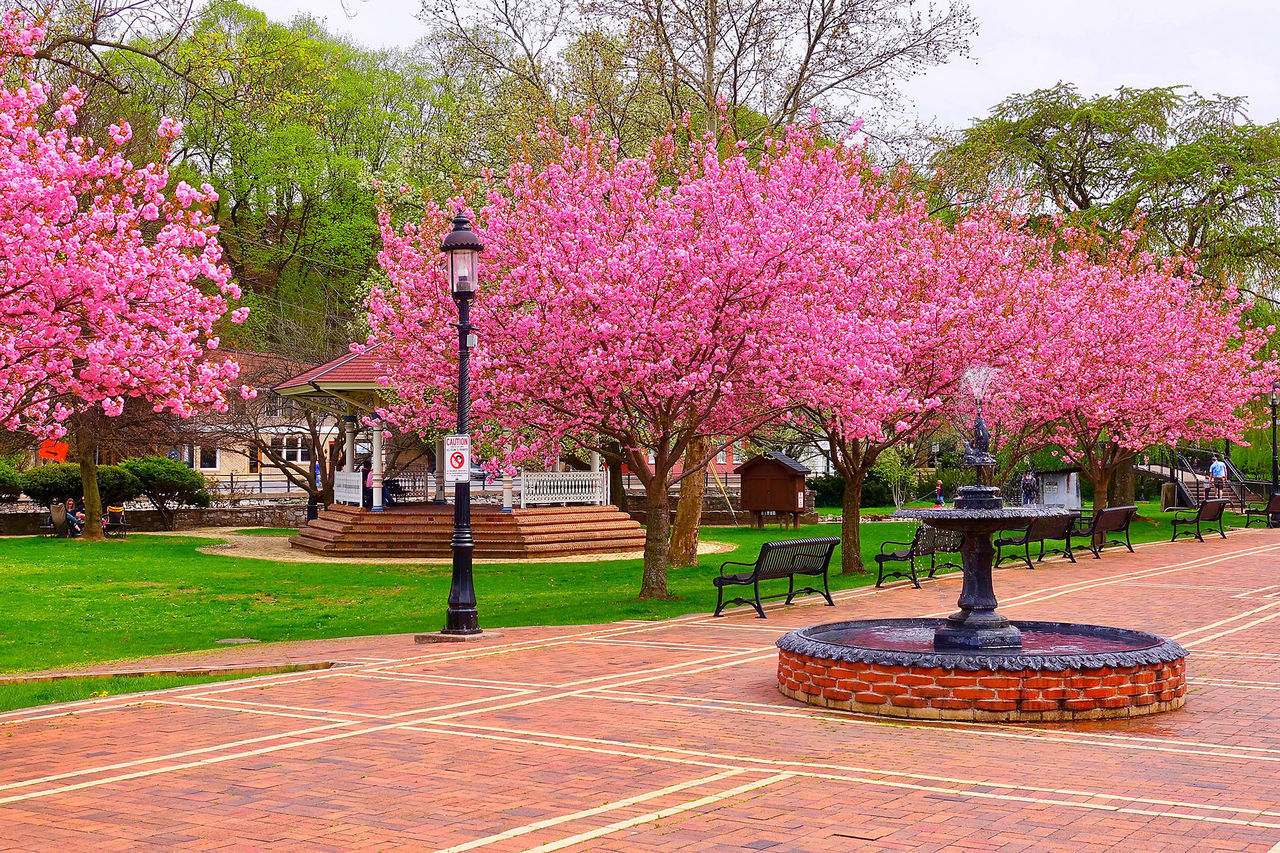 plant, tree, flower, growth, pink color, flowering plant, beauty in nature, nature, park, park - man made space, blossom, day, freshness, springtime, fragility, architecture, no people, outdoors, sky, cherry blossom, cherry tree, park bench