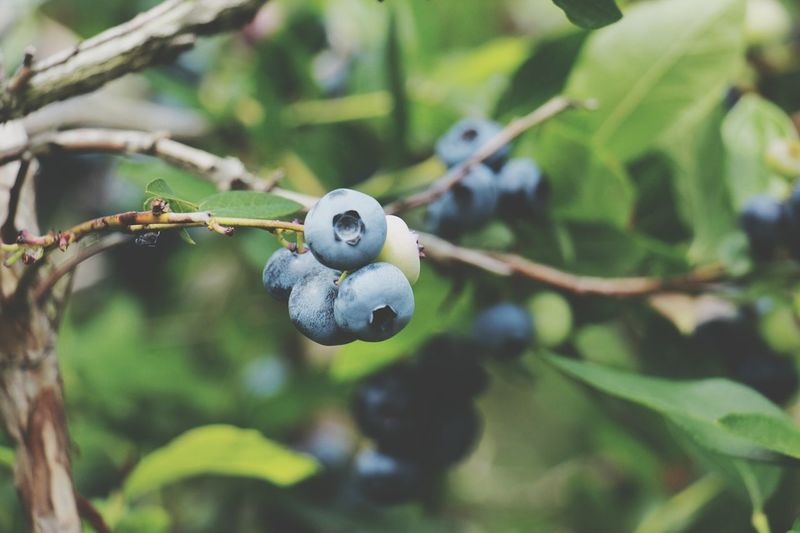 Berry Blue Berry Blue Blue Berry Fruit Vitamin C Blue Fruits  Berries Nutritious Fruit Tree Twig