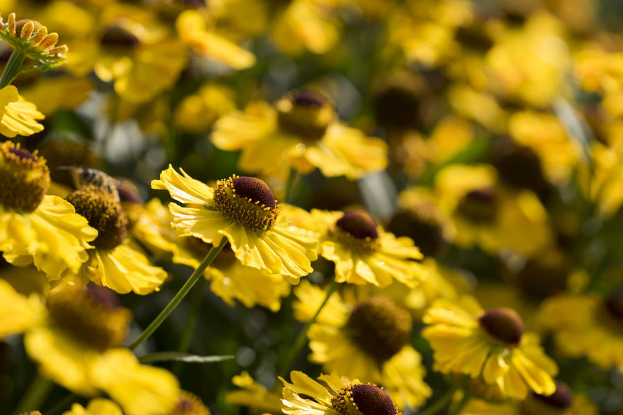 Sneezeweed (Helenium) flowers in the garden in late summer Copy Space Late Summer Plants Sneezeweed Beauty In Nature Blossoms  Close-up Field Flowering Plant Flowers Fragility Freshness Garden Growth Helenium Inflorescence Nature Petal Pollen Season  Selective Focus Vulnerability  Yellow