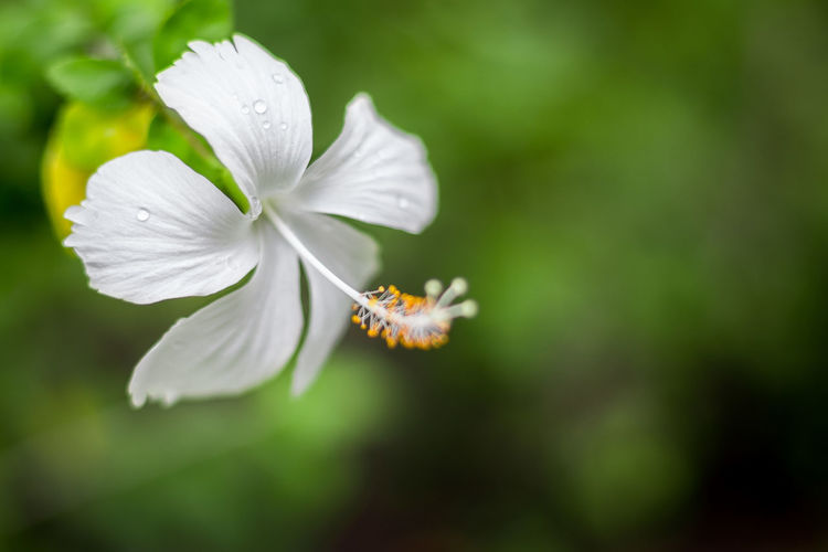 Close up of Beautiful white hibiscus on natural background White Water Up Tropical Tree Symbol Summer Studio Spring Soft Single Season  Plant Petal People Park Outdoor Object Nature Natural Macro Life Leaf Japanese  Horizontal Hibiscus Hedge Growth Green Gardening Garden Freshness Fresh Flower Floral Flora Field Decoration Colorful Color Closeup Close Branch Botany Blossoming  Blossom Blooming Bloom Beautiful Background