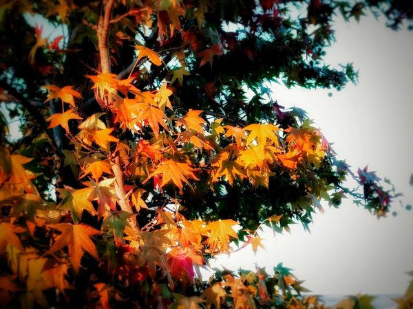 autumn's leaves Autumn Nature Beauty In Nature Maple Leaf Outdoors Taking Photos EyeEm Nature Lover Tree And Sky Fall Leaves Outdoors Photograpghy  TreePorn EyeEm Gallery Autumn Branch Tree_collection  Eyeem Tree Mobile Photography No People Maple Change