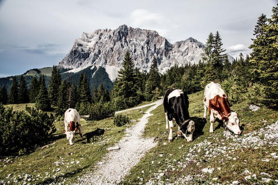 Alm Austria Fleckvieh Hiking Hochgebirge Romantic Summertime Travel Wanderlust Wettersteingebirge Zugspitze Animals Baumgrenze Cows Cows In A Field No People Pathway Summer This Week On Eyeem Traditional Zugspitzarena