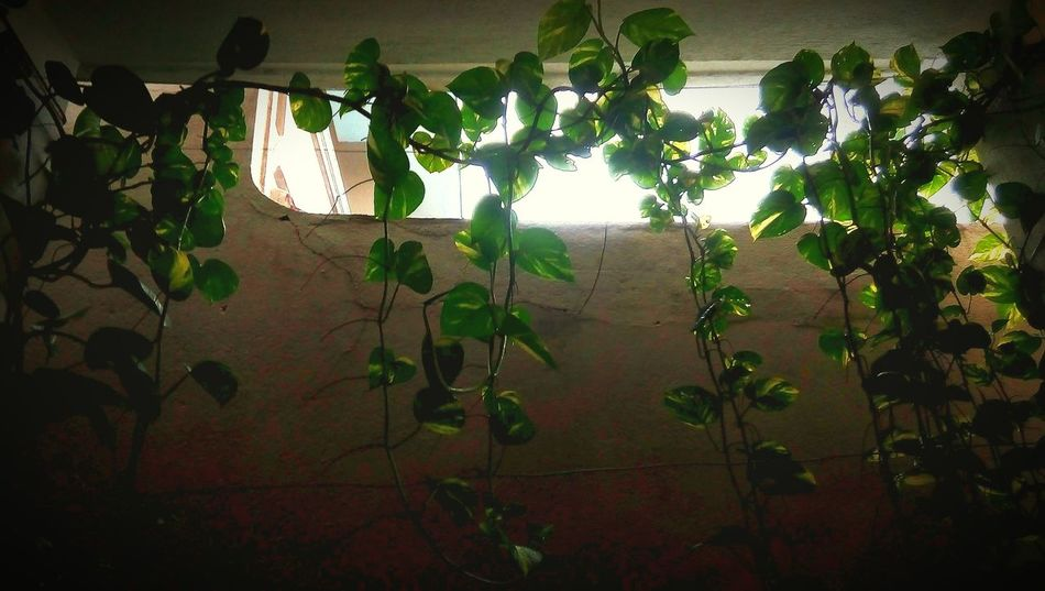Money plants..... Hello WorldRelaxing Taking Photos Check This Out Enjoying Life