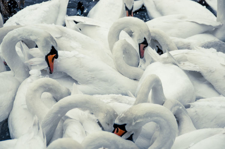 Snowday! I had to run out with the camera. Flock Of Birds Glasgow  Scotland Swans Victoria Park Animal Wildlife Animals In The Wild Bird Cluster Cold Temperature Day Frozen Lake Nature Necks No People Outdoors Snow Snowing Swan Swimming Water Water Bird White Color Winter