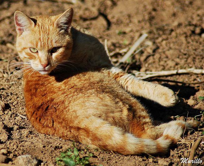 Nikonespaña NikonD60 Animal Photography Nikonphotography Nature Mammal Cats 🐱 Catcatcat🐱🐈 Cat Eyes Gat Feline Photography, Feline Felinephotography Cat Lovers Cats Cat♡ Cat Gatos 😍 Gato Gato😽 Felino Felino !!! Felinos Felines Animals In The Wild