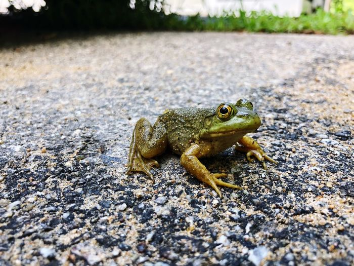 Frog Animal Themes Animal Wildlife Animals In The Wild Animal One Animal Vertebrate Reptile No People Nature Focus On Foreground Sunlight Selective Focus Day Amphibian Lizard Land Frog Close-up Outdoors Side View