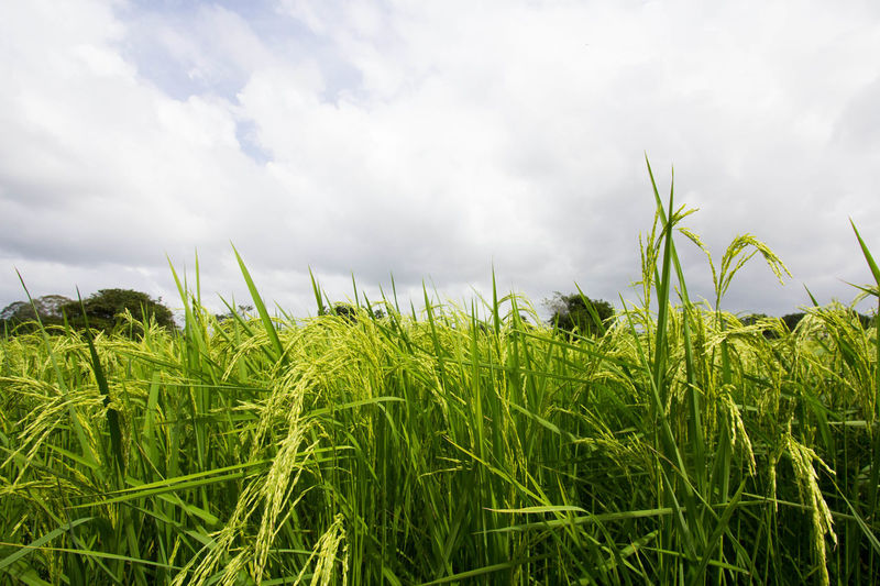 Agriculture Beauty In Nature Cereal Plant Close-up Cloud - Sky Crop  Day Farm Field Green Color Growth Landscape Nature No People Outdoors Plant Rice Rice Paddy Rural Scene Scenics Sky Wheat