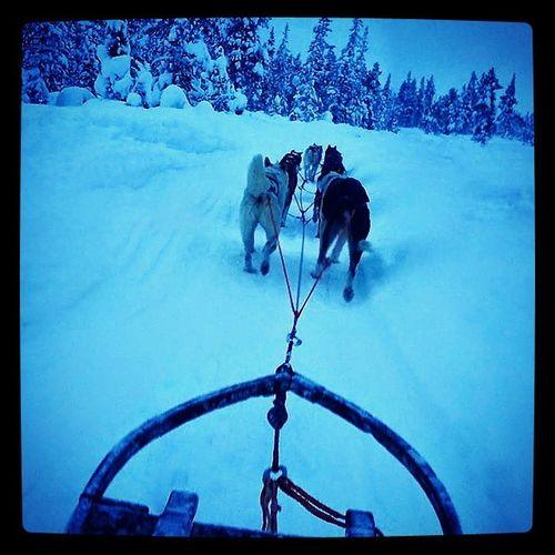 Huskies Husky Dogsleigh Dogslegding Sweden Kiruna Snow Adventure Snow Winter