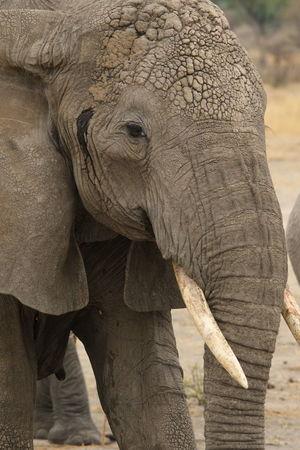 Big 5 EyeEmNewHere Tarangire National Park Tusker Tarangire Tanzania Safari Wildlife Photography EyeEm Selects Elephant Animal Wildlife Nature No People Mammal African Elephant Close-up Animals In The Wild One Animal