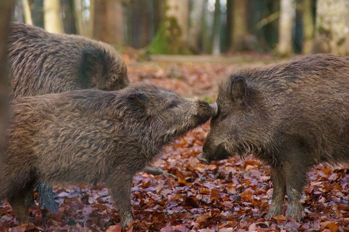 Animal Themes Animal Wildlife Animals In The Wild Close-up Contact Day Emotions In A Picture Kissing Nature No People Outdoors Togetherness Wild Boar EyeEmNewHere