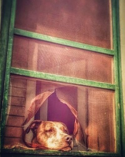 Bella just has to see what's going on all the time... Ks_pride Dogsofinstagram Dog Doingherjob Wow_america Kansasphotos Kansasphotographer Taking Photos Dogslife Screan Door Instapic Enjoying Life Check This Out Relaxing