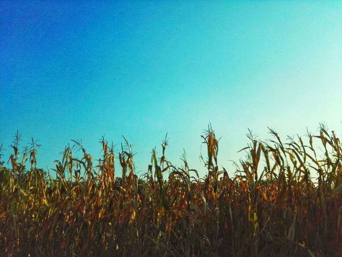 Cultivated field Cereal Plant Rural Scene Clear Sky Agriculture Crop  Sky Plant Cattail Corn - Crop Rice Paddy Ear Of Wheat Corn On The Cob Corn Farm Terraced Field Growing Plantation Satoyama - Scenery Combine Harvester Rice - Cereal Plant Barley Farmland Sweetcorn Cultivated Land Asian Style Conical Hat