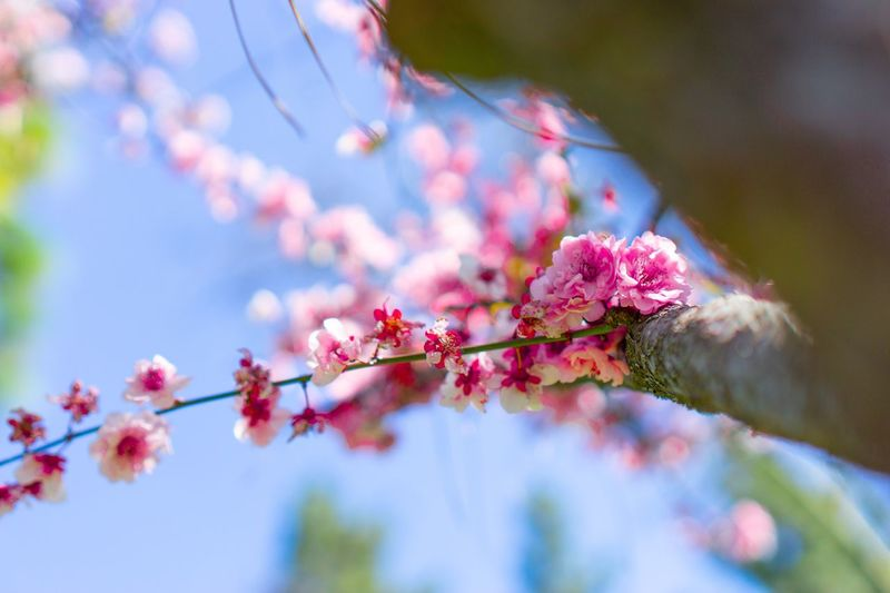 Cherry blossoms Plant Flower Flowering Plant Beauty In Nature Pink Color Freshness Tree Branch Springtime Blossom Selective Focus Low Angle View Day No People