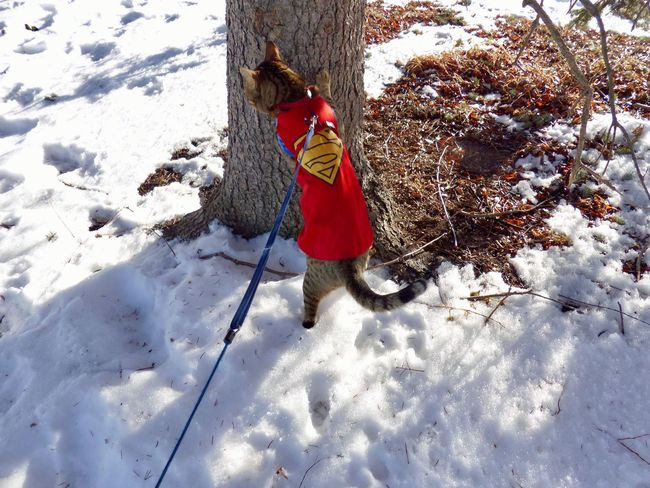 Sneaking up on a Dog Cute Winter Panasonic  Feline Kitty Spying Spycat Adventures SuperCat Super Cape  Superman Tree Cat Winter Snow One Person Day Real People Rear View Outdoors Nature Cold Temperature Standing Red Tree