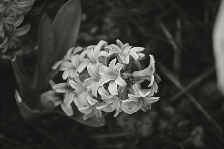 Nature Flowers Beauty In Nature Hyacinth Flower Black & White