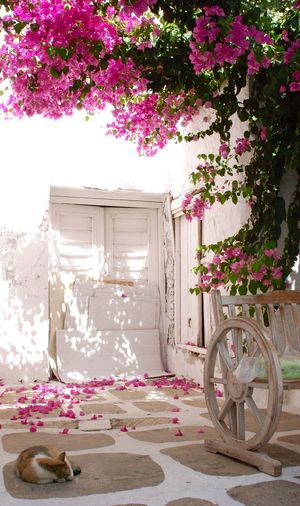 Parikiá-Paros, Greece, 2015 Greece Greek Islands Parikiaparos Cyclades Kyklades Cat Door Rose Petals