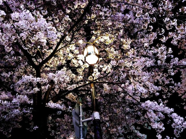 Bong-cheon dong, Seoul, South Korea Nightphotography Roadside Tree Night Night Lights Sakura Sakura Blossom Light Bulb Lights In The Dark Tree Flower Branch Backgrounds Full Frame Close-up Sky Blossom Blooming Flower Head HUAWEI Photo Award: After Dark
