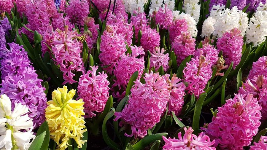 Flower Fragility Beauty In Nature Freshness Nature Purple No People Growth Full Frame Flower Head Backgrounds Outdoors Day Close-up Hyacinth,spring Hyacint Hyacinth Hyacinthus Hyacinth Flower HyacinthFlowers Hyacinths Beauty In Nature Blooming Yellow Pink Color