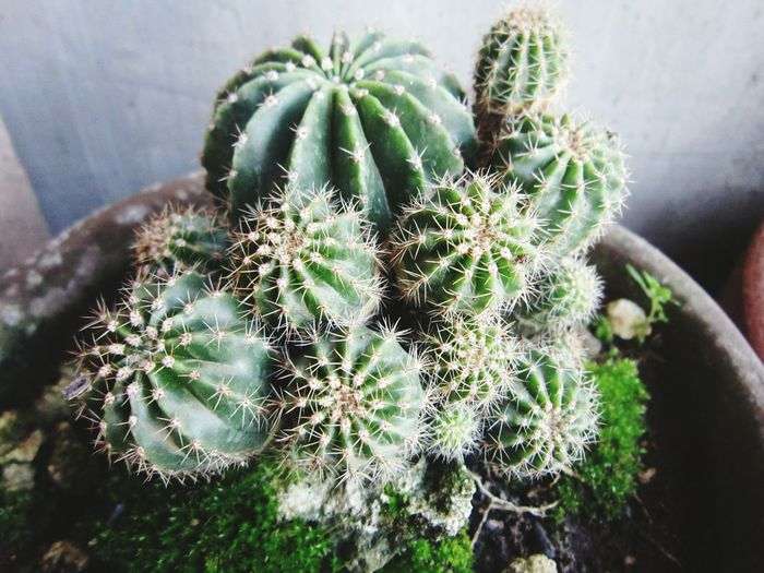 Close-up of cactus plant in pot during winter