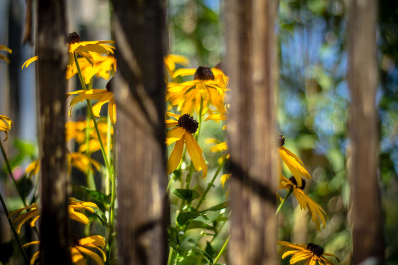 Sommer flowers Sonnenhut Beauty In Nature Bee Black-eyed Susan Blooming Buzzing Close-up Day Flower Flower Head Fragility Freshness Growth Insect Nature No People One Animal Outdoors Petal Plant Pollination Yellow