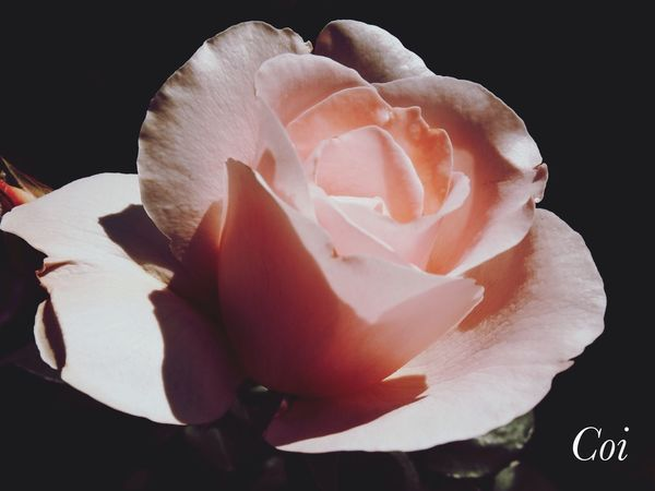 The Rose Rose♥ My Favorite  Flowers