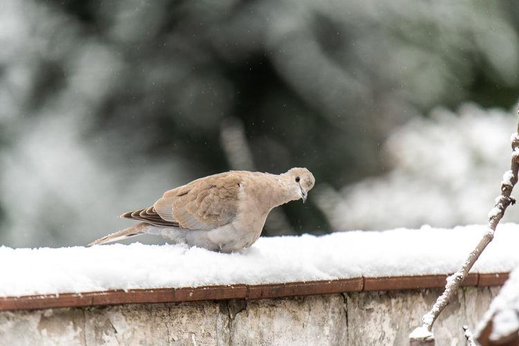 Snow Dove Bird Winter